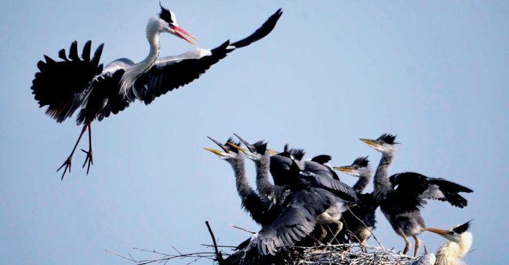Garça voa de volta para seu ninho repleto de filhotes para alimentar em uma árvore, no município de Subu na província de Anhui, na China