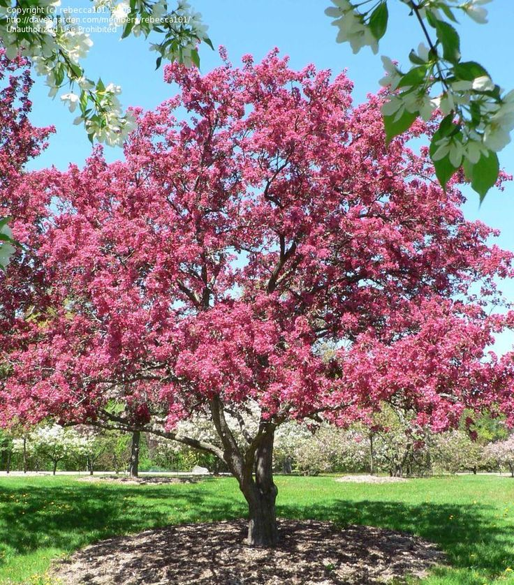 Radiant flowering crabapple plantfiles picture 2 of for Crabapple tree