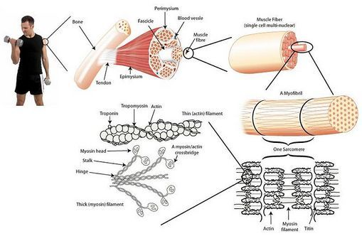 Muscles are made up of hundreds of thousands of muscle cells (also called muscle fibres). These muscle cells act together to perform the functions of the specific muscle they are part of...