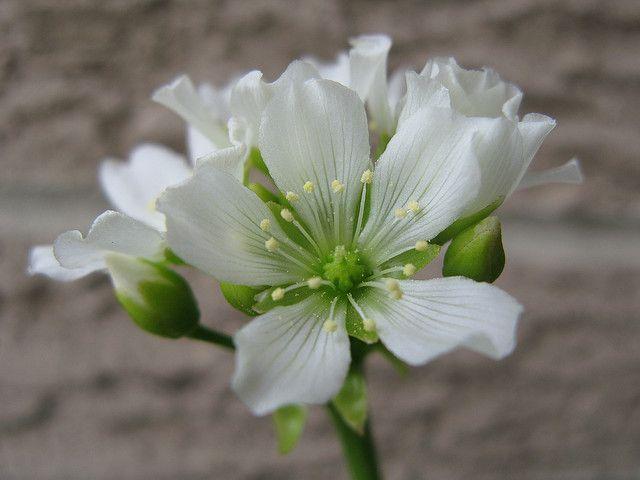 schöne weiße Blüten Venusfliegenfalle Dionaea muscipula