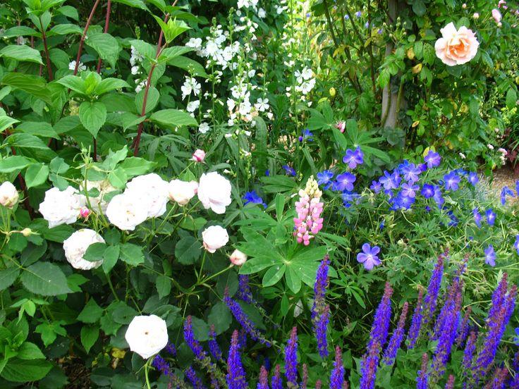 Roses du jardin Chêneland: Sauge- salvia némorosa ...