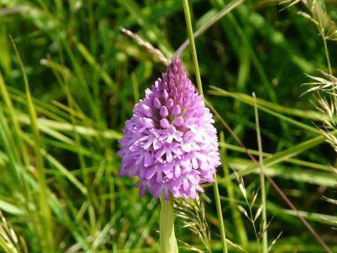 Pyramidal Orchid: What is the point? | Nature Notes
