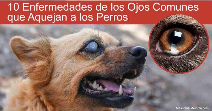 ¿Sabías que hay al menos 10 padecimientos diferentes que pueden afectar los ojos y visión de tu perro, y algunos pueden provocar ceguera si se ignoran? https://mascotas.mercola.com/sitios/mascotas/archivo/2018/01/17/10-enfermedades-oculares-comunes-en-los-perros.aspx