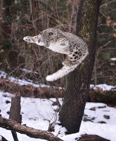 A snow leopard leaps up at Bronx zoo, New York. Photograph: James Devaney/WireImage