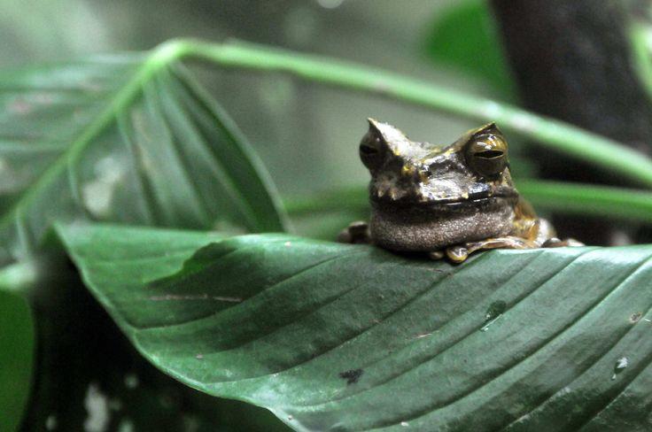 Panamá (EFEverde).- Frenar la amenaza de extinción de algunas especies de ranas de los bosques de Panamá a causa del hongo quítrido es la ardua tarea que realizan científicos por medio de la investigación y reproducción en cautiverio de estos animales en el Centro de Rescate y Conservación de Anfibios en Panamá.
