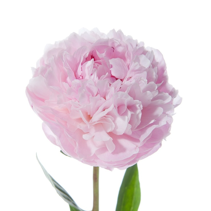 Light Pink Peony Available In Late Spring Early Summer