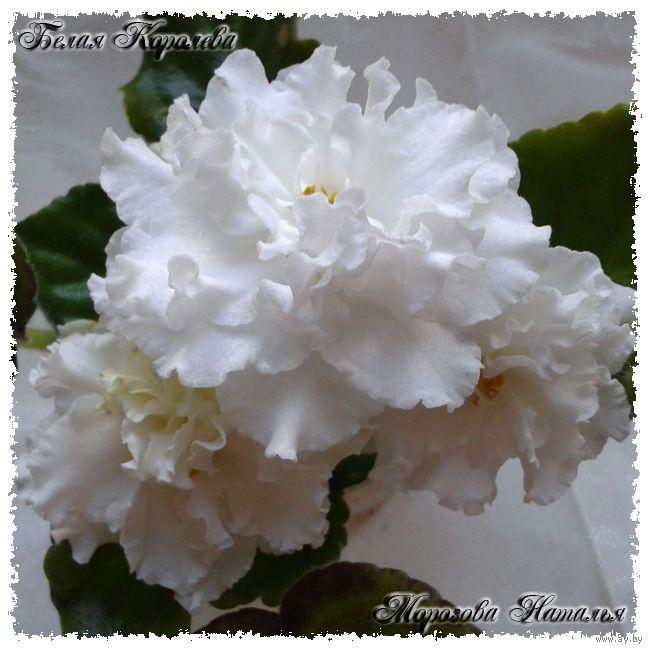Красавица ЕК-Белая Королева(стандарт).Розетка процвела по сорту+два укор.листа от нее.