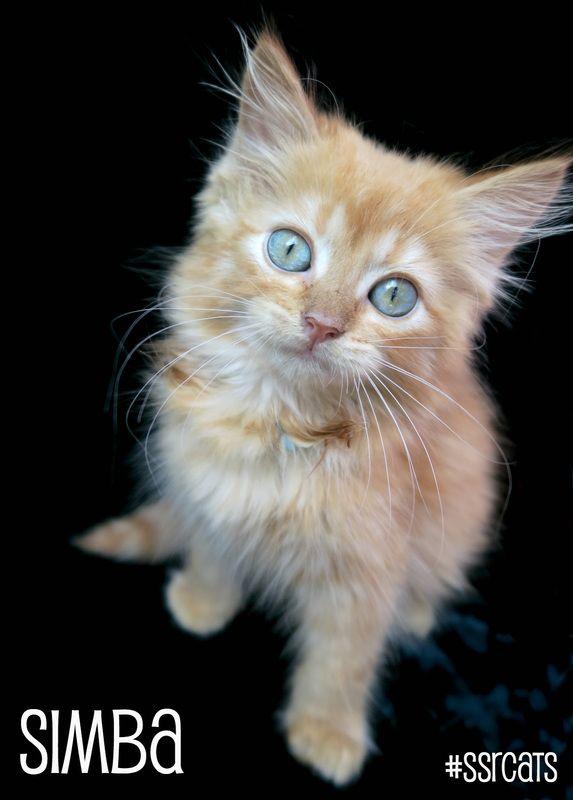 Simba the kitten