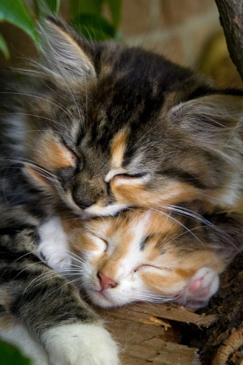 2 Calico Kittens Recharging their  Batteries