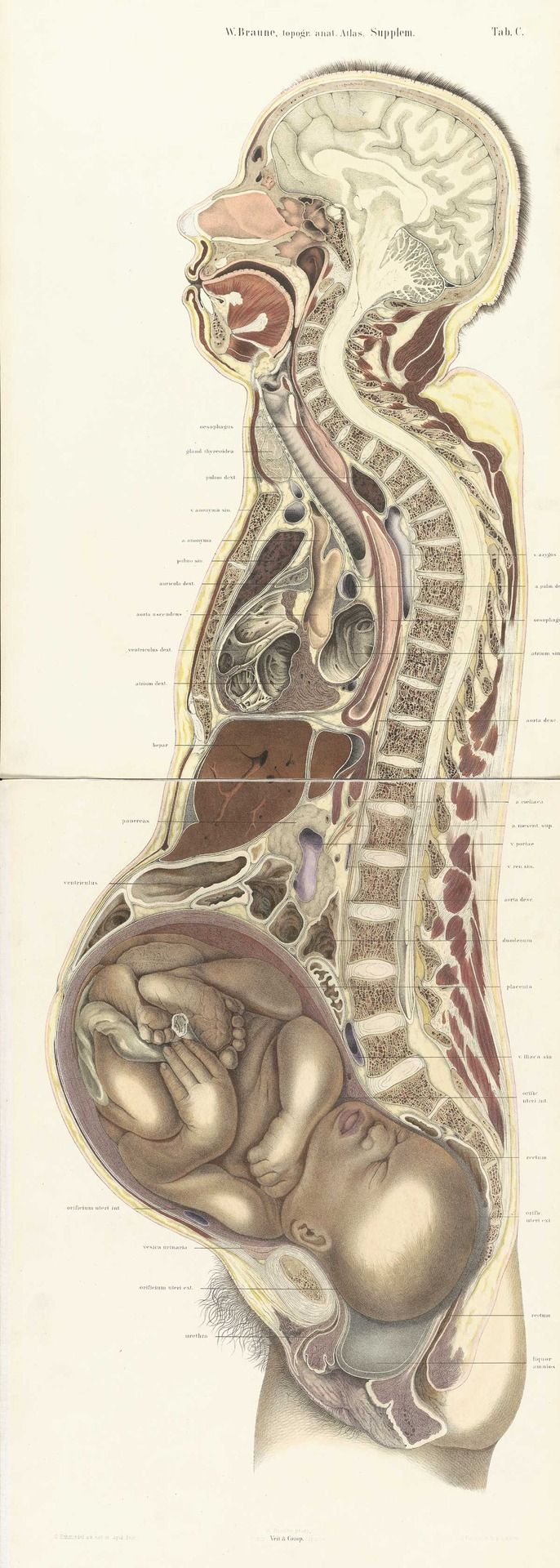Die Lage des Uterus und Foetus am ende der Schwangerschaft. Nach durchschnitten an gefrornen Cadavern - Atlas Suppl. - Wihelm Braune, 1872 #anatomy #pregnancy #medicaldiagram