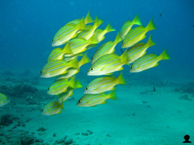 17 best images about hawaii wildlife on pinterest oahu for Types of fish in hawaii