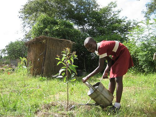 Gum trees watered with diluted urine to enhance their growth in school woodlot.  Photo Credits: PRM
