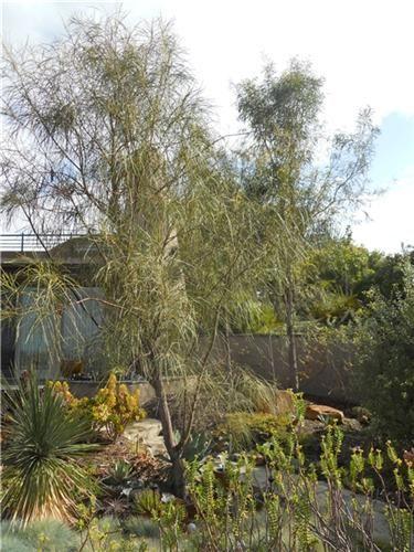 Acacia Evergreen And San Diego On Pinterest