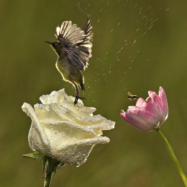 """""""I Believe, I Can Fly""""    Burung Kolibri - Burung Penghisap Madu - Sunbird - Nectariniidae    Location : Jakarta - Indonesia"""