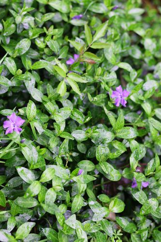 50 Myrtle Vinca Minor Periwinkle Ground Cover for Landscaping Free Shipping | eBay