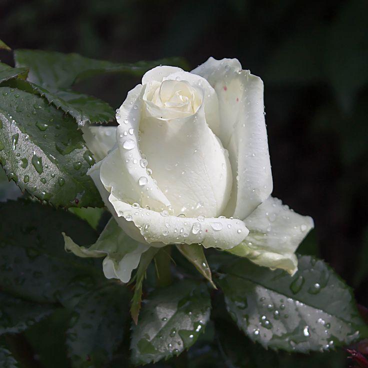 ждали картинка белы бутон розы этой статье