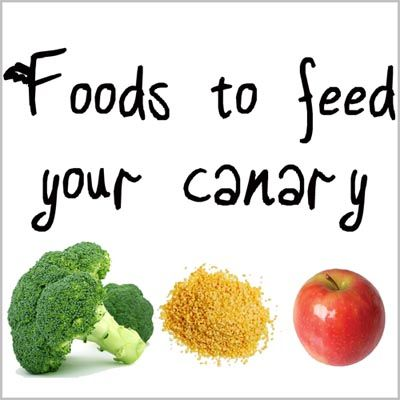 There are many foods you can feed a canary besides seeds. Check out this guide on the various foods that are good for your birds