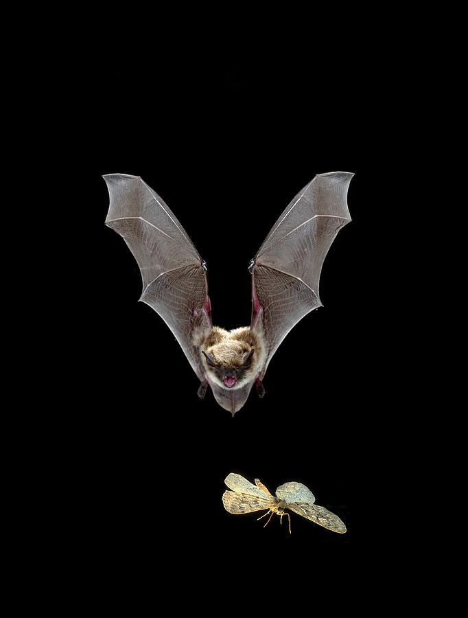 bats flying brown - Google Search