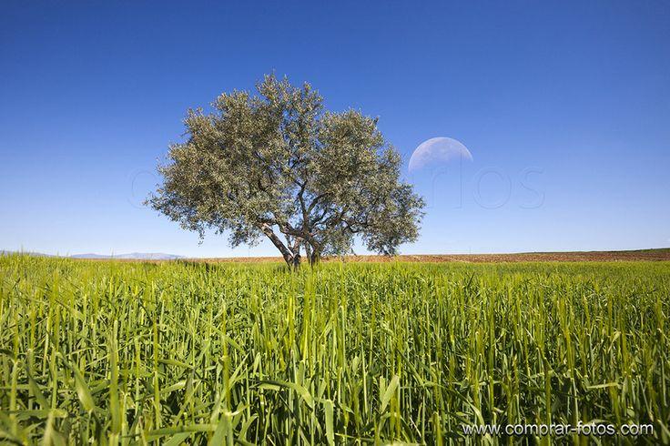 _MG_0688 Tree and moon Part II.jpg14,1 MB 5616×3744 by Carlos Ramírez de Arellano del Rey on 500pxPaisaje en la Comunidad de Madrid, casi el la provincia de Guadalajara. Hace dos días pasé por aquí y presentaba un aspecto radicalmente distinto al de  esta foto, que tomé en primavera. El mismo punto de vista y el mismo lugar, totalmente  irreconocibles. www.comprar-fotos.com