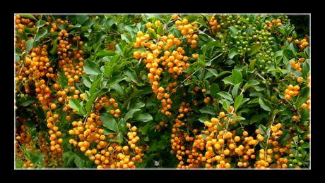 """""""Pigeon berry""""  (Duranta erecta) este un arbust cu flori din familia Verbenaceae, nativ din Mexic și America de Sud. Planta are un port arbustiv și, mai rar, copac de mici dimensiuni. Poate crește până la 2 – 3 m înălțime, cu un diametru al coroanei egal cu înălțimea sa..."""