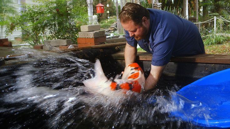 $60,000 Japanese Koi Fish! Check out this amazing koi and learn how judges evaluate fish at koi shows.