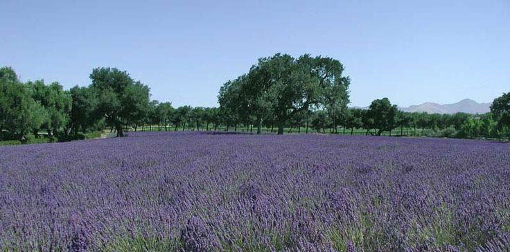 Clairmont Lavender Farm, Los Olivos, CA: Lavender Los Olivos, Wine, Clairmont Farms, Favorite Places, Lavender Fields, Family Owned Farm, Beautiful Family Owned, Farms Lavender Los, Country