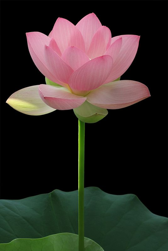 Lotus Flower - IMG_3070 | Flickr - Photo Sharing!