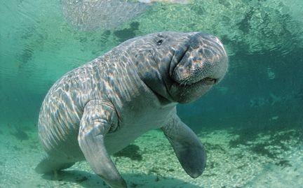 manatees: Manat Molest, Animal Manat, Critter,  Dugong Dugon, Animal Mammals Etc, Creatures, Manatees, The Zoos, Animal
