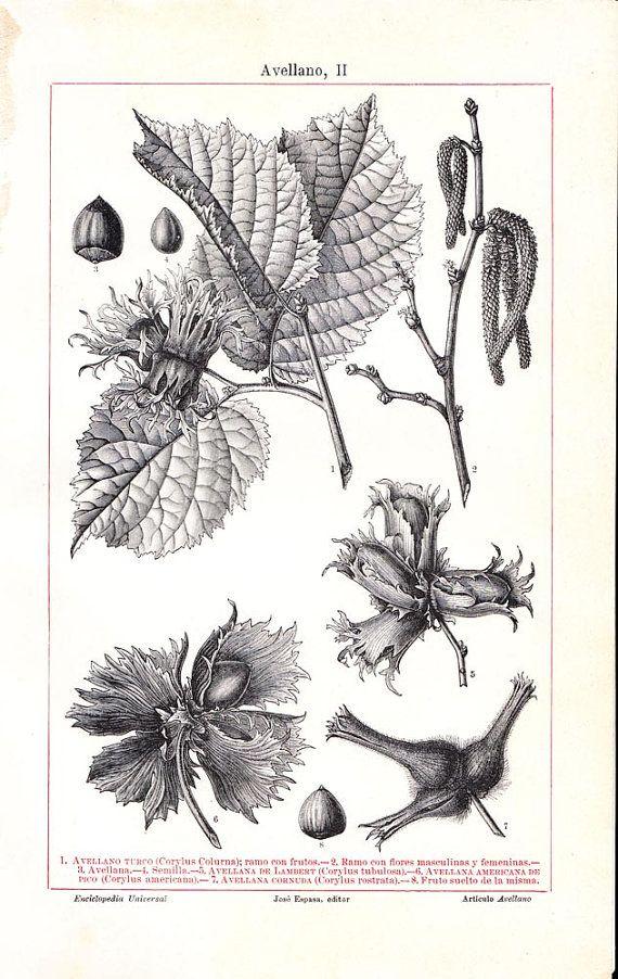 Turkish Hazel Botanical Print Corylus Colurna by CarambasVintage