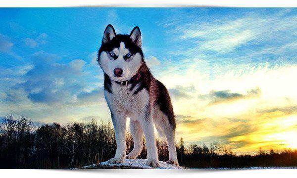 siberische-husky-uiterlijke-kenmerken