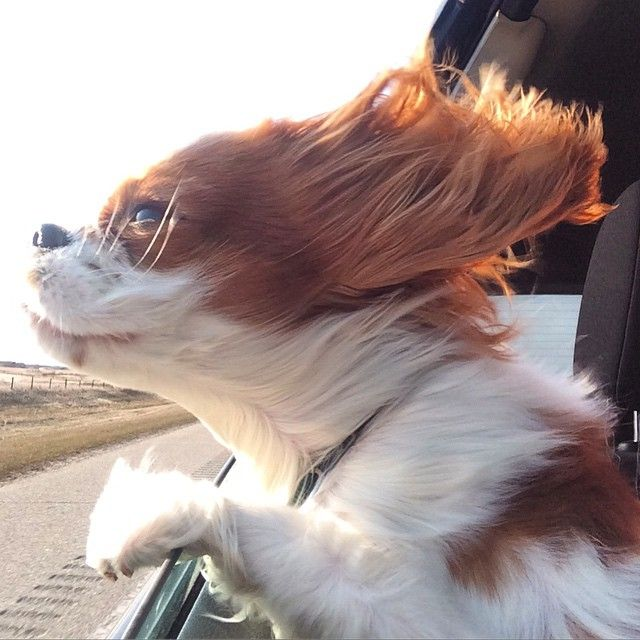 Hihihi - Abri the cavalier - Road trips and open windows are my jam.  Happy weekend fur-iends !!!