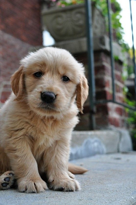 Golden Retriever puppy cuteness!