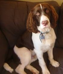 English Springer Spaniels. The only dog I had growing up. Cute, playful, and adorable