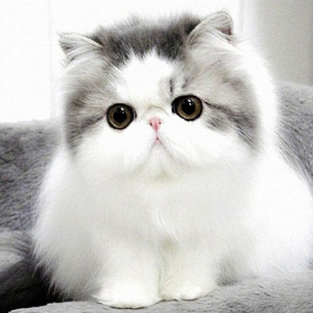 Persian Cat–> I So Want One!opawz.comsupply Pet Hair Dye,pet Hair Chalk,pet Perfume,pet Shampoo,spa….