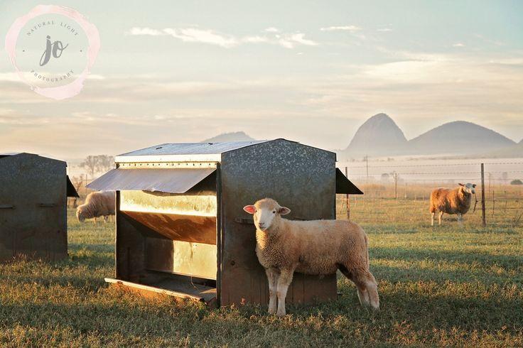 Photoshoot for Redridge Livestock, Rockhampton