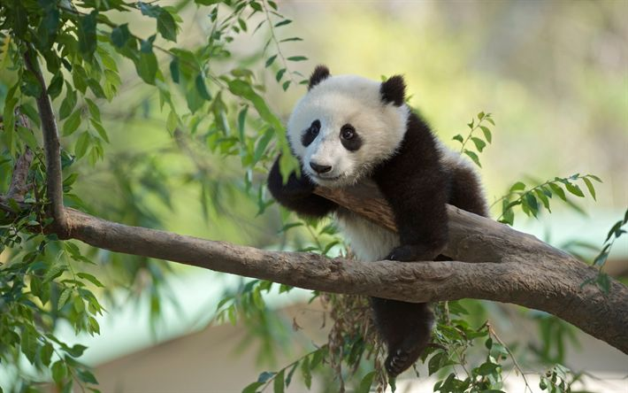 Download wallpapers panda, tree, forest, wild nature, China, bamboo bear, mammals, bears, cute animals