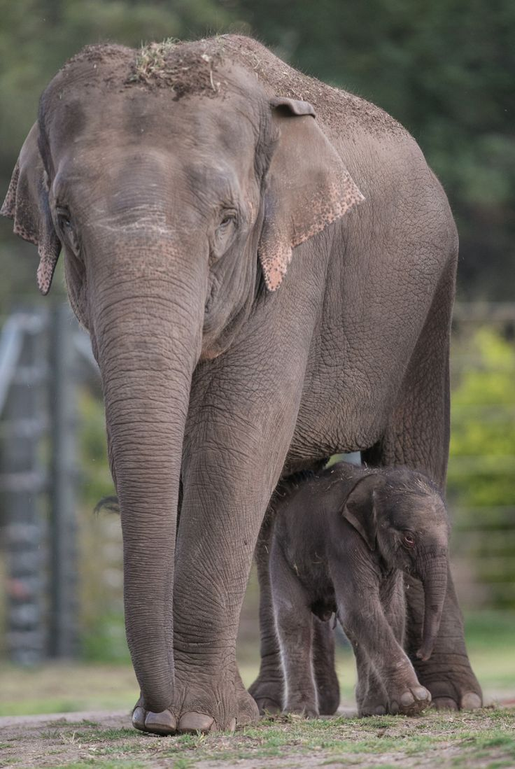 Asiatic Elephant calf at Taronga Western Plains Zoo by Rick Stevens. The Asian or Asiatic Elephant is found in Southeast Asia from India in the west to Borneo in the east. They are the largest living land animals in Asia & they are endangered.