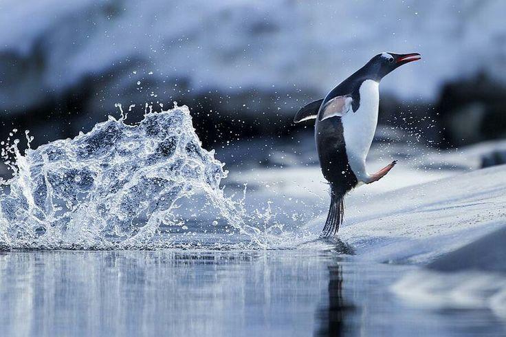 """Penguin.   (""""Plitsch - Platsch."""")"""