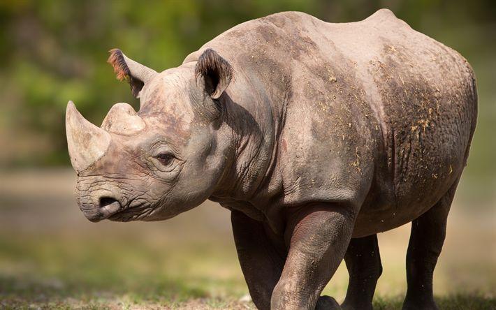 Herunterladen hintergrundbild nashorn, afrika, wildlife, gefährliche tiere