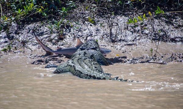 Captan enfrentamiento entre un cocodrilo de agua salada y un tiburón toro - Cuaderno de Ciencias