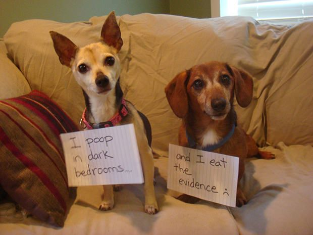 I doubt they know they're being shamed for specific incidents (which makes it SO MUCH FUNNIER). I do have an inkling that our pets know when we're displeased with them.  My favorite submissions have to be the ones where you catch the pet in the act or shame them with the item they've destroyed (underwear, toilet paper, couches).