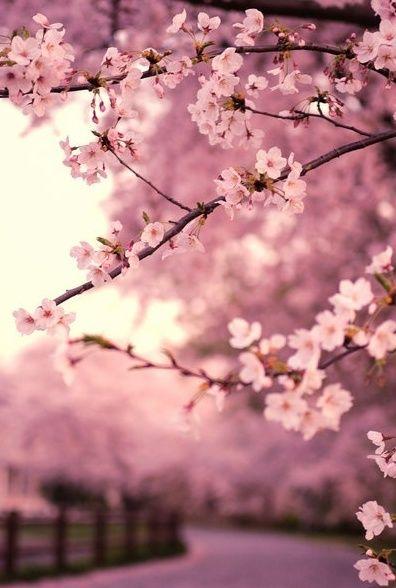 8 best rbol de cerezos images on Pinterest  Nature Cherry