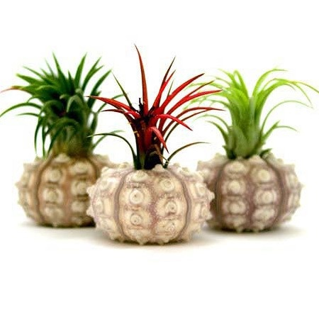 {3 Piece Sputnik Air Plant Set}: Plants Minimum Order, Air Plants Wedding, Http Www Airplantshop Com, Plants Wedding Favors, Https Www Airplantshop Com, Plants Gardens, Places Cards, Events Favors, Plants Air