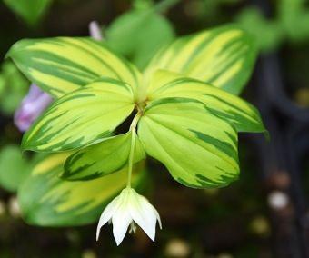 Disporum smilacinum 'Koganetsuki'
