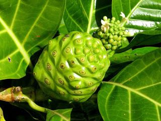 Morinda Fruit pictures