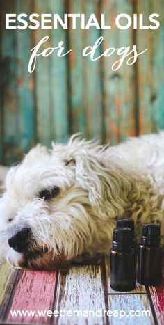 How to safely use essential oils with dogs | Visit SkyMall.com for what your furry friend needs!