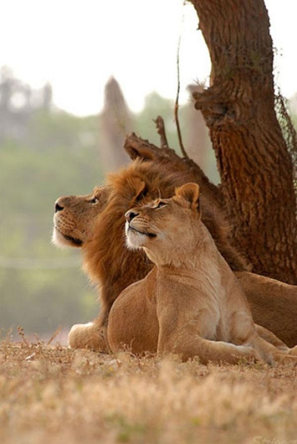 "Lioness: ""Do you see what I see?"" Lion: ""Yes. Heaven in the sun."""