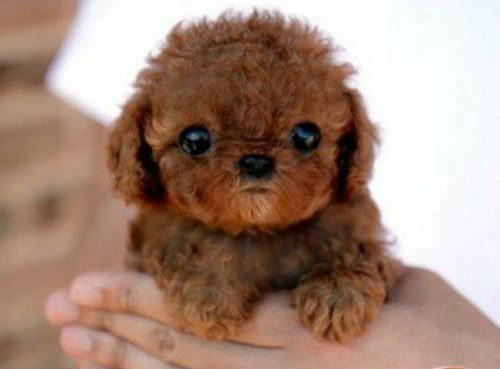 Tiny puppy!!: Cute Puppies, Little Puppies, Cutest Dogs, Teddy Bears, Puppy, Cutest Puppies, Baby, Toys Poodle, Animal
