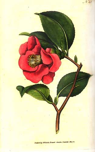 Camellia Flower Line Drawing : Best images about camellia 茶花 on pinterest antiques