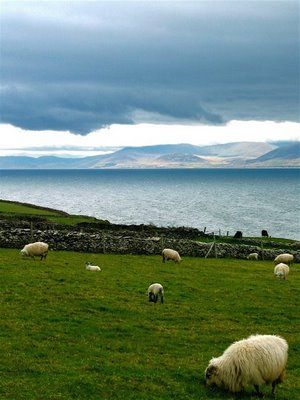 Sheep grazing near Dingle Bay